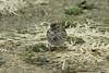 January 13, 2013 (Riverlands Migratory Bird Sanctuary [visitor center] / West Alton, Saint Charles County, Missouri) -- Savannah Sparrow