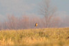 January 6, 2013 (Elsberry [Sewage Treatment Ponds] / Elsberry, Lincoln County, Missouri) -- Say's Phoebe