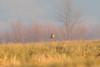 January 6, 2013 (Elsberry [Sewage Treatment Ponds] / Elsberry, Lincoln County, Missouri) -- Say's Phoebe