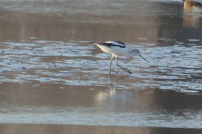 January 6, 2013 (Winfield Locks & Dam [Sandy Slough] / Winfield, Lincoln County, Missouri) -- American Avocet