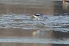January 6, 2013 (Winfield Locks & Dam [Sandy Slough] / Winfield, Lincoln County, Missouri) -- American Avocet