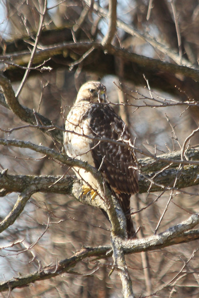 January 16, 2013 (Parkway Central High School [near wooded area] / Chesterfield, Saint Louis County, Missouri) -- Red-shouldered Hawk