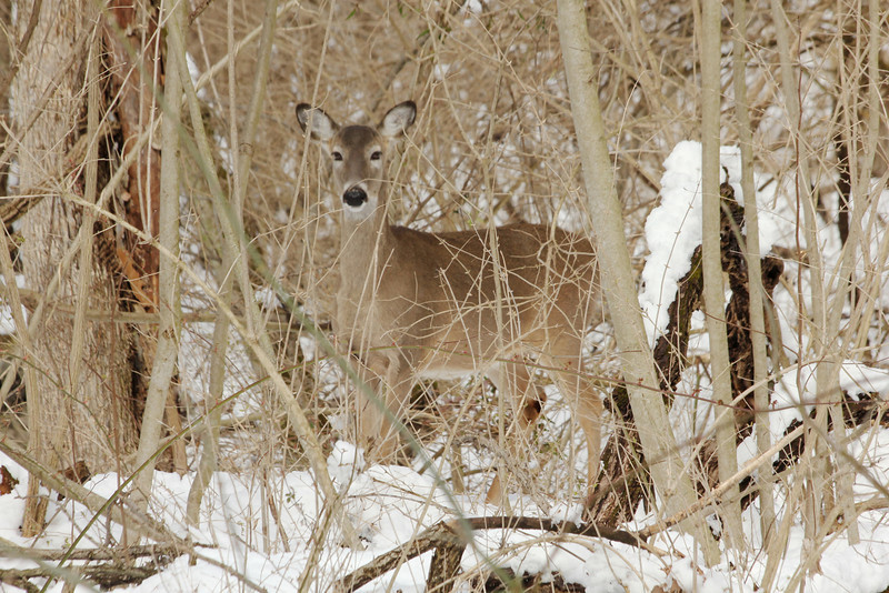 March 26, 2013 (Parkway Central High School [near wooded trail] / Chesterfield, Saint Louis County, Missouri) -- Deer in snowy camouflaged setting