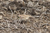 March 19, 2013 (Riverlands Migratory Bird Sanctuary [Confluence Road] / West Alton, Saint Charles County, Missouri) -- Horned Lark