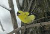 March 24, 2013 ([near feeders over deck above Grand Glaize Creek] / Manchester, Saint Louis County, Missouri) -- American Goldfinch