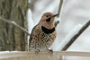"March 25, 2013 ([at birdbath over deck above Grand Glaize Creek] / Manchester, Saint Louis County, Missouri) -- ""Yellow Shafted"" Northern Flicker"
