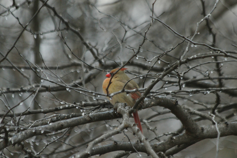 January 13, 2013 (Pembroke Subdivision [Connie's home] / Ferguson, Saint Louis County, Missouri) -- Northern Cardinal