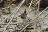May 6, 2013 (Eagle Bluffs Conservation Area [Pond 8] / Columbia, Boone County, Missouri) -- Sora