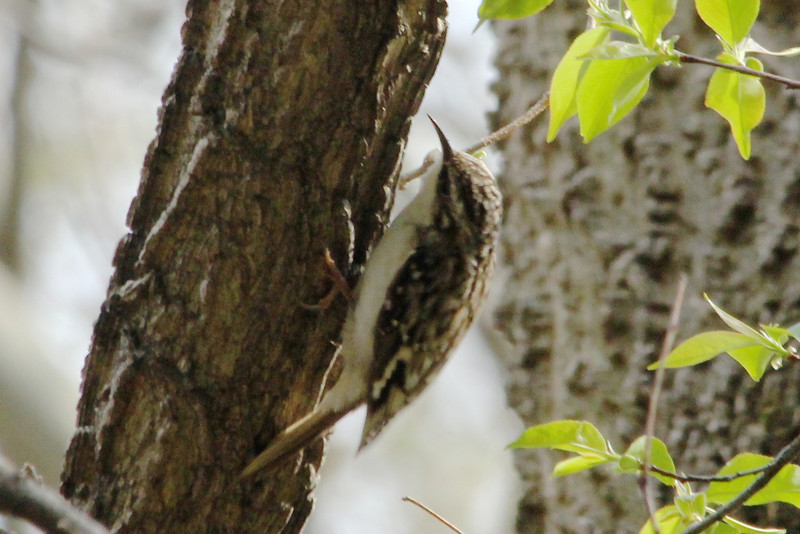 April 9, 2013 (Tower Grove Park [Gaddy Garden] / Saint Louis City, Missouri) -- Brown Creeper