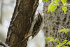 April 9, 2013 (Tower Grove Park [Gaddy Bird Garden] / Saint Louis City, Missouri) -- Brown Creeper