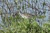 April 21, 2013 (Columbia Bottom Conservation Area [near entrance] / Spanish Lake, Saint Louis County, Missouri) -- Solitary Sandpiper