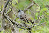 May 6, 2013 (Eagle Bluffs Conservation Area [from 2nd gravel loop extension] / Columbia, Boone County, Missouri) -- White-crowned Sparrow
