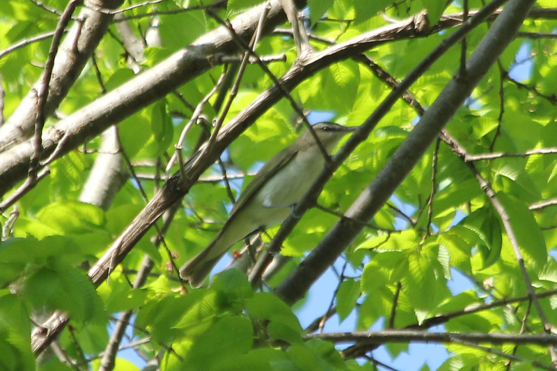 April 29, 2013 (Simpson Lake County Park [over bicycle path] / Valley Park, Saint Louis County, Missouri) -- Red-eyed Vireo