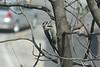 April 6, 2013 ([backyard trees over Grand Glaize Creek] / Manchester, Saint Louis County, Missouri) -- Yellow-bellied Sapsucker