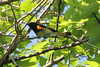 May 11, 2013 (Tower Grove Park [Gaddy Bird Garden] / Saint Louis City, Missouri) -- American Redstart