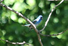 June 28, 2013 (Parkway Central High School [wooded trail] / Chesterfield, Saint Louis County, Missouri) -- Male Indigo Bunting