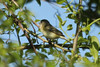May 12, 2013 (Weldon Springs Conservation Area [Blue Grosbeak Trail] / Weldon Springs, Saint Charles County, Missouri) -- Bell's Vireo