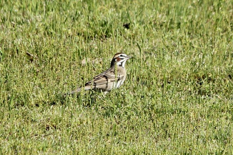 April 29, 2013 (Simpson Lake County Park [near spillway] / Valley Park, Saint Louis County, Missouri) -- Lark Sparrow