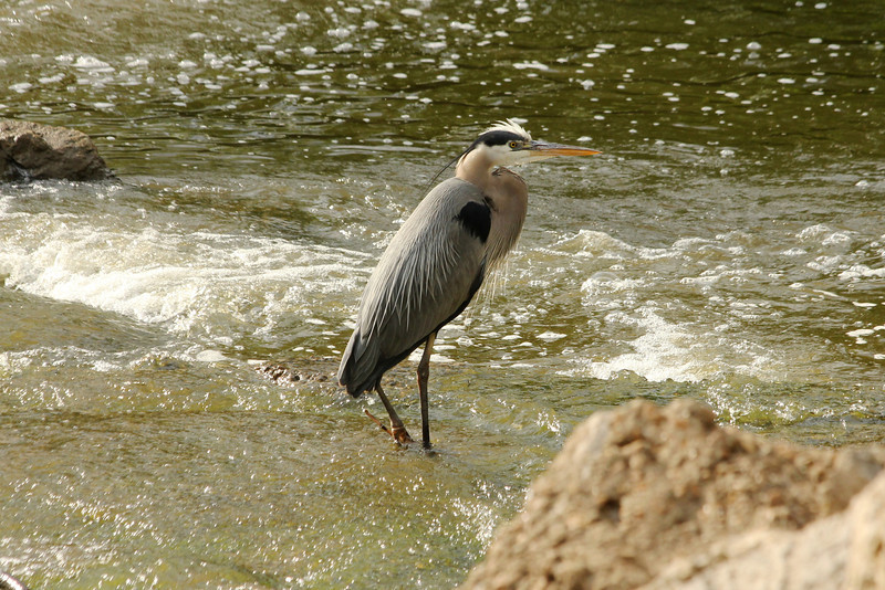 May 25, 2013 (Simpson Lake County Park [spillway] / Valley Park, Saint Louis County, Missouri) -- Great Blue Heron