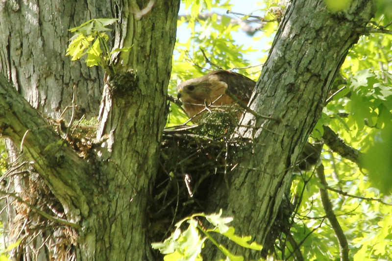May 13, 2013 (Rockwoods Reservation [at end of Glencoe Road], Wildwood, Saint Louis County, Missouri) -- Red-shouldered Hawk tearing apart mouse