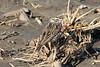 April 20, 2013 (Levee Road [near Evergreen Sod Farm] / Valmeyer, Monroe County, Illinois) -- Savannah Sparrow