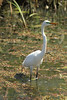 May 12, 2013 ([Peruque Creek Road] / O'Fallon, Saint Charles County, Missouri) -- Great Egret