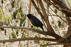 April 1, 2013 (Parkway Central High School [wooded trail] / Chesterfield, Saint Louis County, Missouri) -- Rusty Blackbird