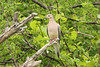 May 10, 2013 (Parkway Central High School [under radio tower] / Chesterfield, Saint Louis County, Missouri) -- Mourning Dove