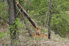 April 24, 2013 (Shaw Nature Reserve [Wetlands Trail] / Gray Summit, Franklin County, Missouri) -- Tree downed by Beaver