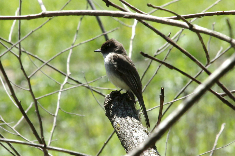 April 24, 2013 (Shaw Nature Reserve [trail near Bascom House] / Gray Summit, Franklin County, Missouri) -- Eastern Phoebe