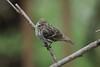 April 28, 2013 ([backyard trees near feeders over Grand Glaize Creek] / Manchester, Saint Louis County, Missouri) -- Pine Siskin