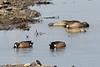 April 6, 2013 (Riverlands Migratory Bird Sanctuary [near Confluence Road] / West Alton, Saint Charles County, Missouri) -- Blue-winged Teal
