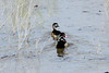 April 20, 2013 (Levee Road [above flooded side of levee] / Valmeyer, Monroe County, Illinois) -- Pair of Wood Ducks