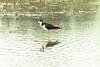 May 26, 2013 (Monroe County [Outlet and Levee Roads] / Valmeyer, Monroe County, Illinois) -- Black-necked Stilt