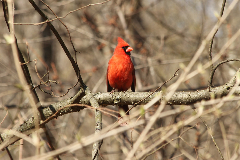 April 1, 2013 (Parkway Central High School [wooded trail] / Chesterfield, Saint Louis County, Missouri) -- Northern Cardinal