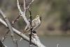 April 13, 2013 (Simpson Lake County Park [near pavilion] / Valley Park, Saint Louis County, Missouri) -- Savannah Sparrow