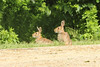 May 22, 2013 (Parkway Central High School [at wooded trail] / Chesterfield, Saint Louis County, Missouri) -- Rabbits