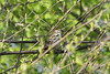 April 29, 2013 (Simpson Lake County Park [near spillway] / Valley Park, Saint Louis County, Missouri) -- Lark Sparrow