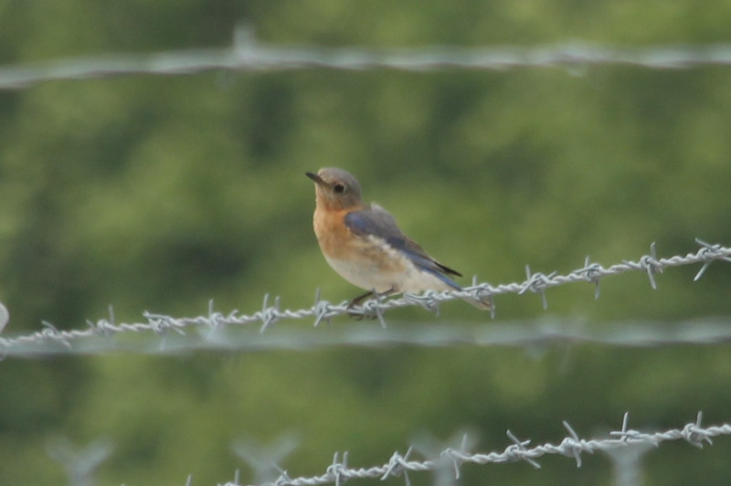 "June 16, 2013 - (Weldon Springs Chemical Plant Disposal [""Mount Doom""] / Weldon Springs, Saint Charles County, Missouri) -- Eastern Bluebird"