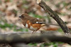 April 9, 2013 (Tower Grove Park [Gaddy Bird Garden] / Saint Louis City, Missouri) -- Female Eastern Towhee