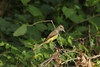 June 17, 2013 (Parkway Central High School [under radio tower] / Chesterfield, Saint Louis County, Missouri) -- Great-crested Flycatcher