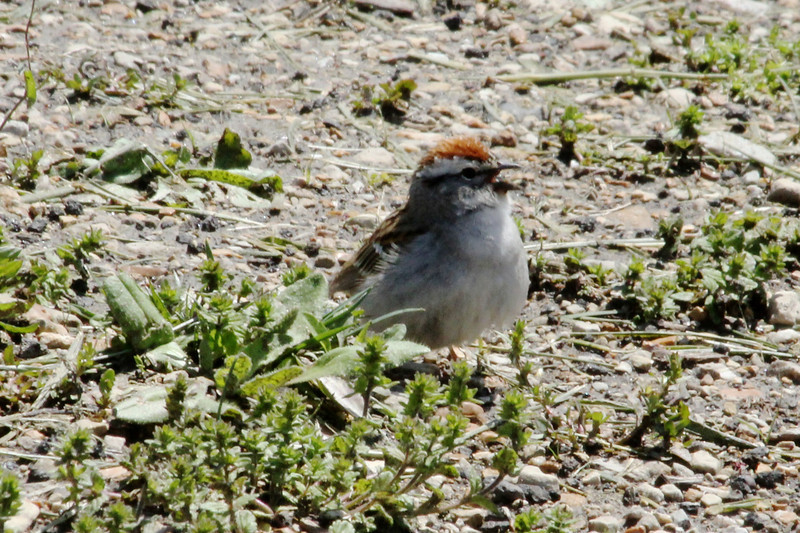 April 24, 2013 (Shaw Nature Reserve [near Bascom House] / Gray Summit, Franklin County, Missouri) -- Chipping Sparrow