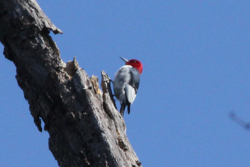 April 13, 2013 (Simpson Lake County Park [over bicycle trail] / Valley Park, Saint Louis County, Missouri) -- Red-headed Woodpecker
