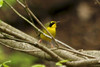 April 28, 2013 (Rockwoods Reservation [wooded trail across from headquarters], Wildwood, Saint Louis County, Missouri) -- Kentucky Warbler