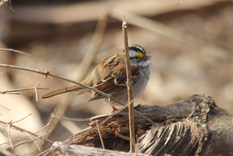 April 1, 2013 (Parkway Central High School [wooded trail] / Chesterfield, Saint Louis County, Missouri) -- White-throated Sparrow
