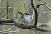 April 24, 2013 (Shaw Nature Reserve [Wetlands Trail] / Gray Summit, Franklin County, Missouri) -- Blue-gray Gnatcatcher