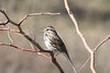 April 7, 2013 (Keeteman Road Sod Farm / Old Monroe, Lincoln County, Missouri) -- Song Sparrow