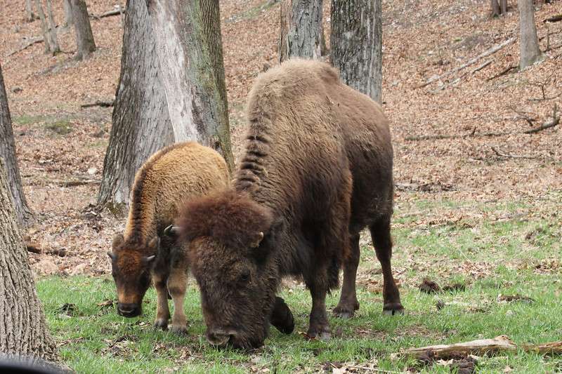 April 11, 2013 - (Lone Elk County Park [in bison enclosure] / Valley Park, Saint Louis County, Missouri) -- American Buffalo with Calf [American Bison]