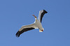 April 7, 2013 (Winfield Lock & Dam #25 [Levee Trail] / Winfield, Lincoln County, Missouri) -- American White Pelican