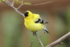 April 28, 2013 ([backyard trees near feeders over Grand Glaize Creek] / Manchester, Saint Louis County, Missouri) -- American Goldfinch